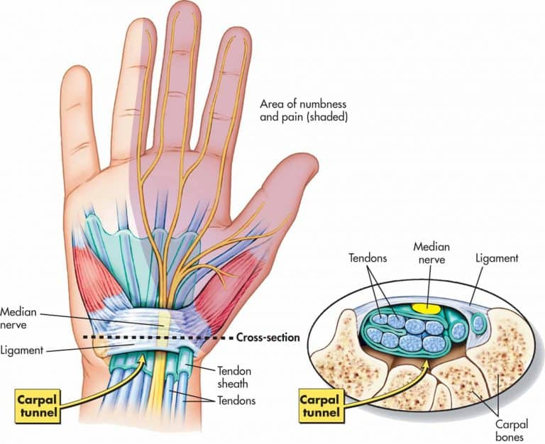 carpal tunnel - hand anatomy