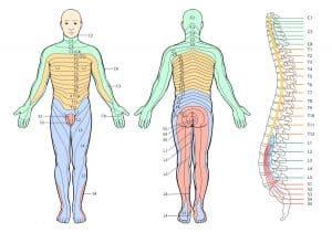 myotomes chart